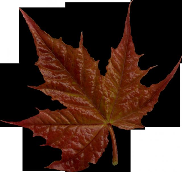 Картинки на прозрачном фоне. Осенний клипарт. Подборка осенние листья для фотошоп.